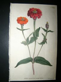 Curtis 1791 Hand Col Botanical Print. Many Flowered Zinnia 149